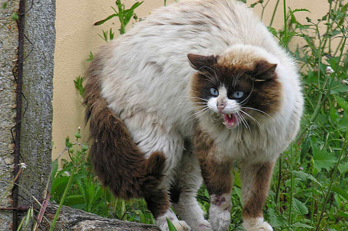 Agresywny kot