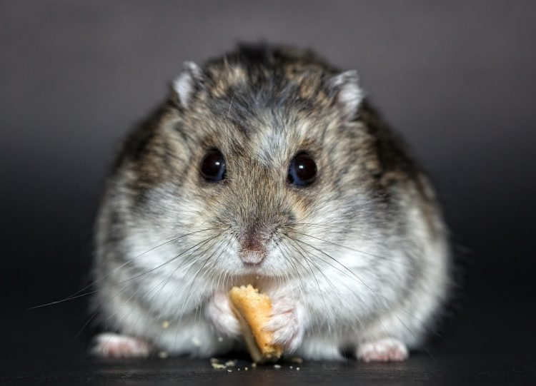 Co jedzą chomiki